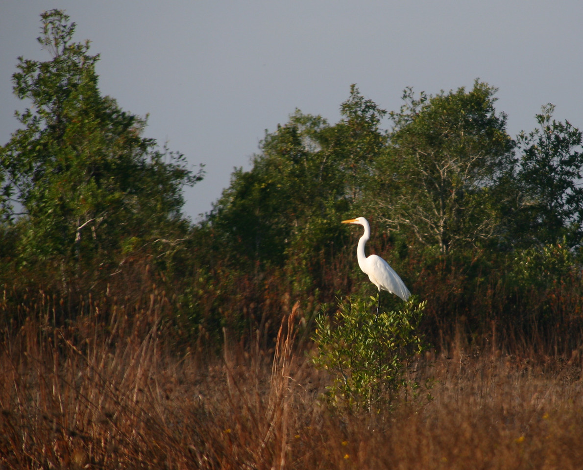 The following day, we head back after exploring some other water trails near our camp. A great white heron.