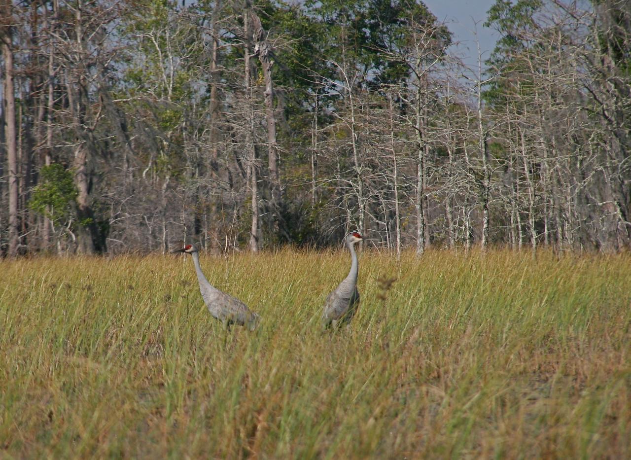 More Sand Hill Cranes. We saw hundreds.
