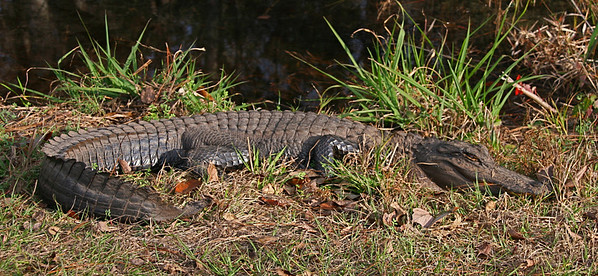 Out first alligator sightings are near small ponds along the road, about 15 feet from our car.