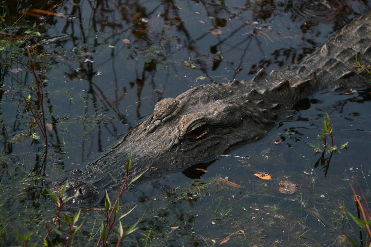 We see this alligator from the Chickee while visiting.