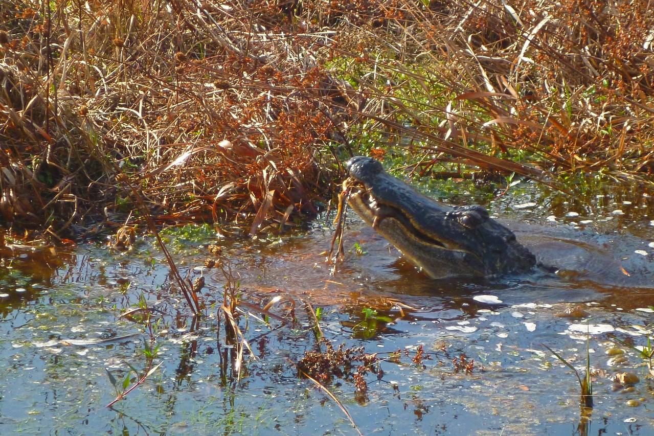 A few minutes later, it lunges for something. We can't determine what it was, but it was lunch for the gator.