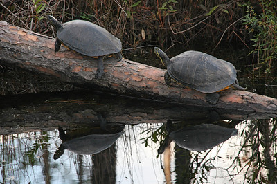 We also see turtles. I would think that they live a nervous life unless alligators decide they don't taste very good.