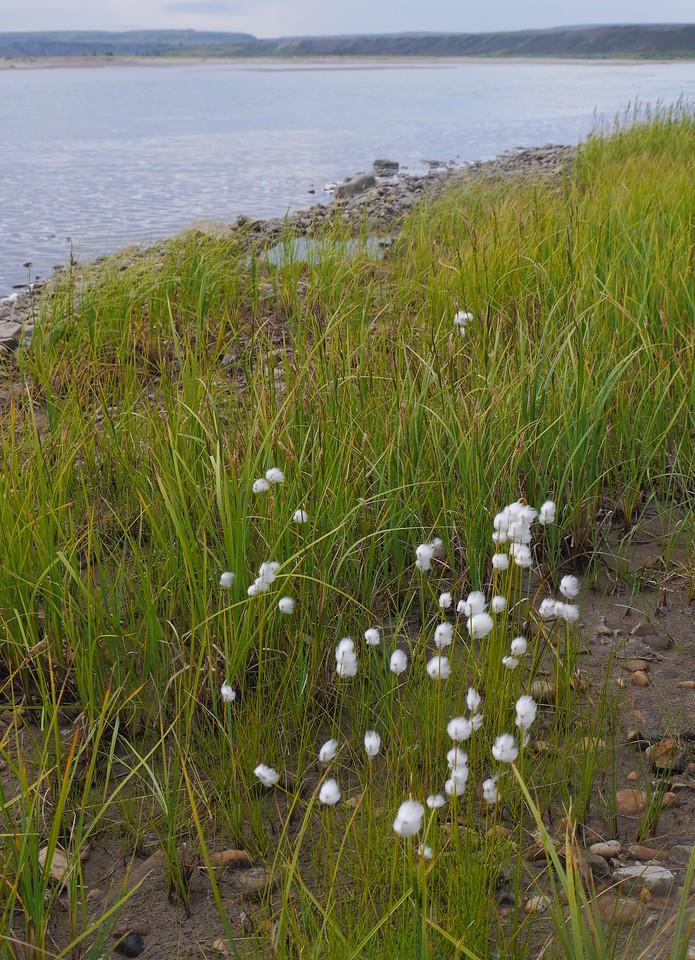 Day 15 - Arctic Cotton.