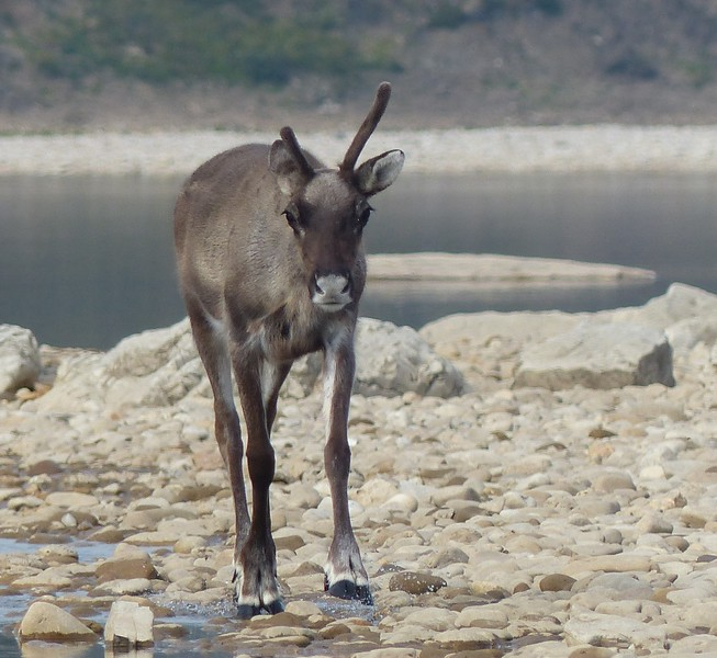 Day 14 - A young caribou who has lost its mother.  It is sad because it will probably not survive.