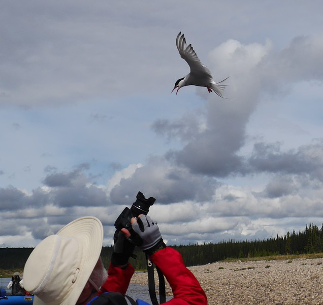 Day 3 - Arctic Tern attack.