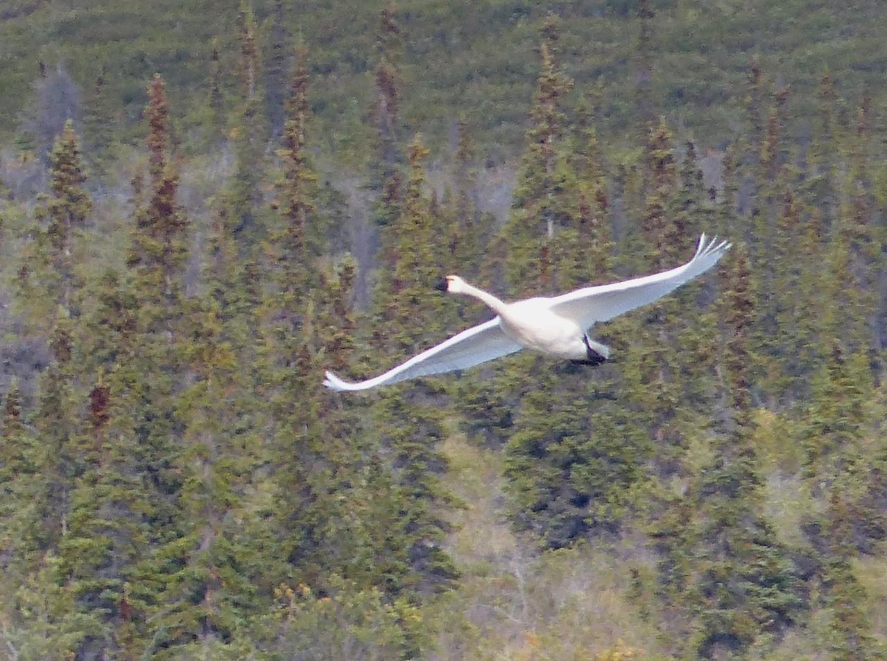 Day 18 -Tundra Swan.