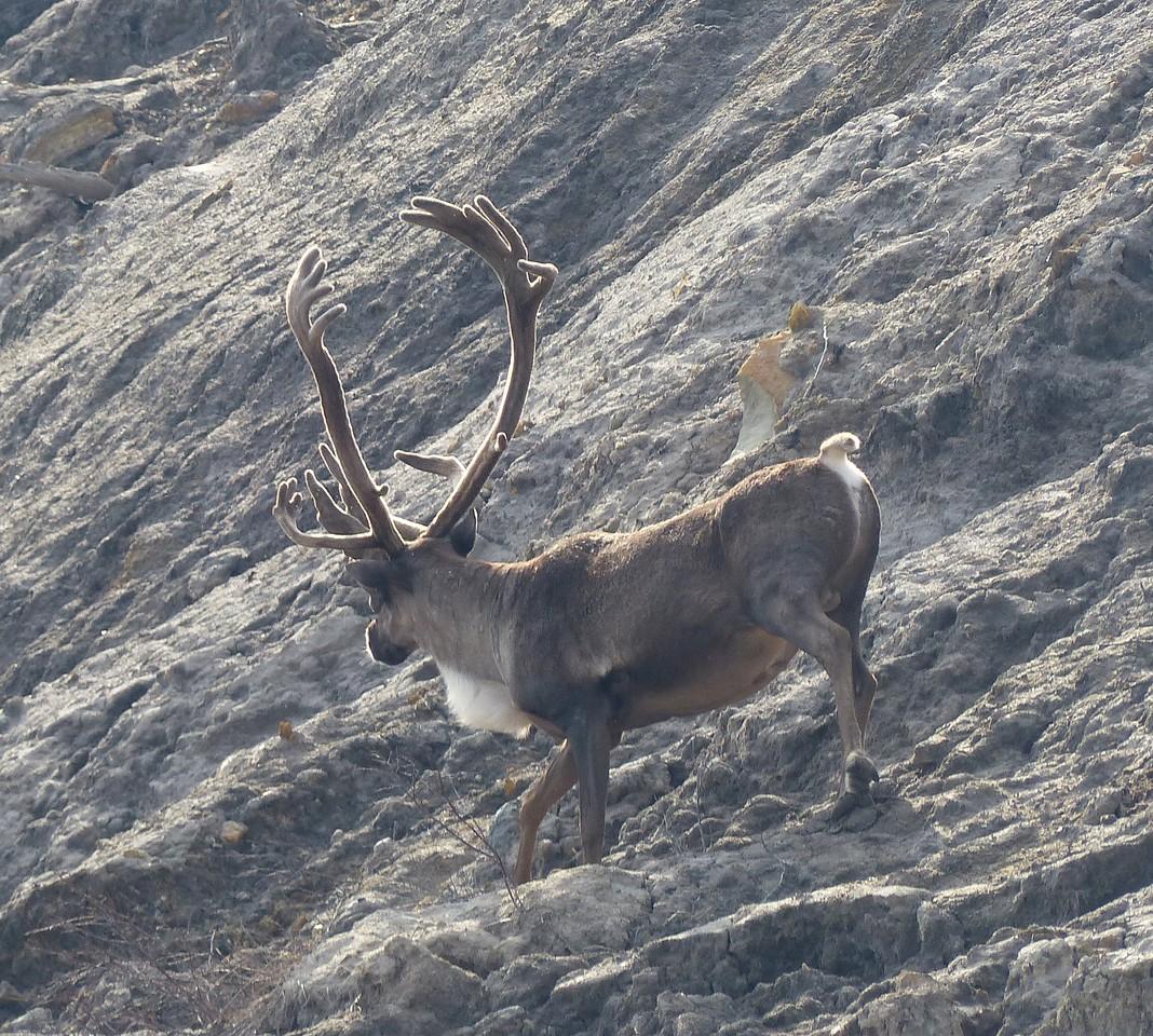 Day 14 - Huge caribou.