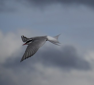 Day 3 - Arctic Tern.