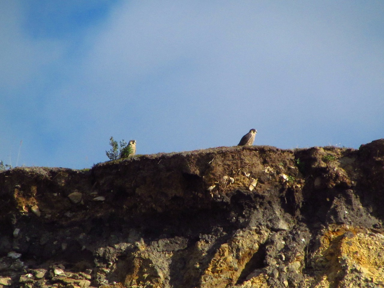 Two peregrine falcons on the ridge across the river one morning.  Saw quite a few of them.