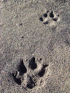 Wolf tracks on beach - almost 4 in. wide.  Camped across river from a pack one night - didn't see any, but they howled several times.