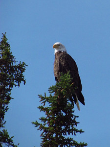 This bald eagle was fishing right along the river, too.