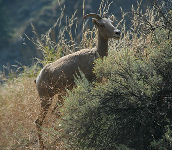 There are many bighorn sheep along the road to Corn Creek where we began the trip.