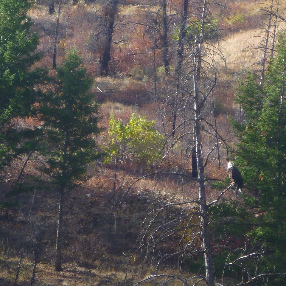 We saw several  bald eagles on the trip. It is difficult to photograph them without a telephoto.