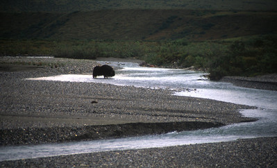 Musk Ox at camp 9. Rain will flood this entire area.