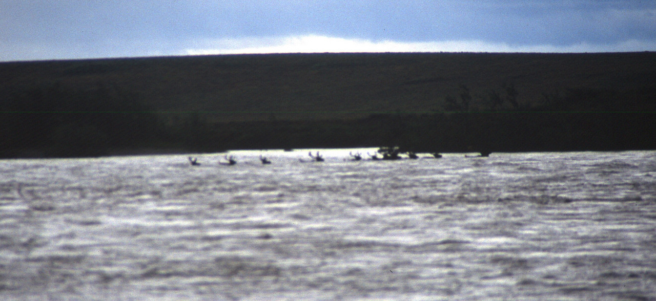 A group of Caribou swims the Noatak
