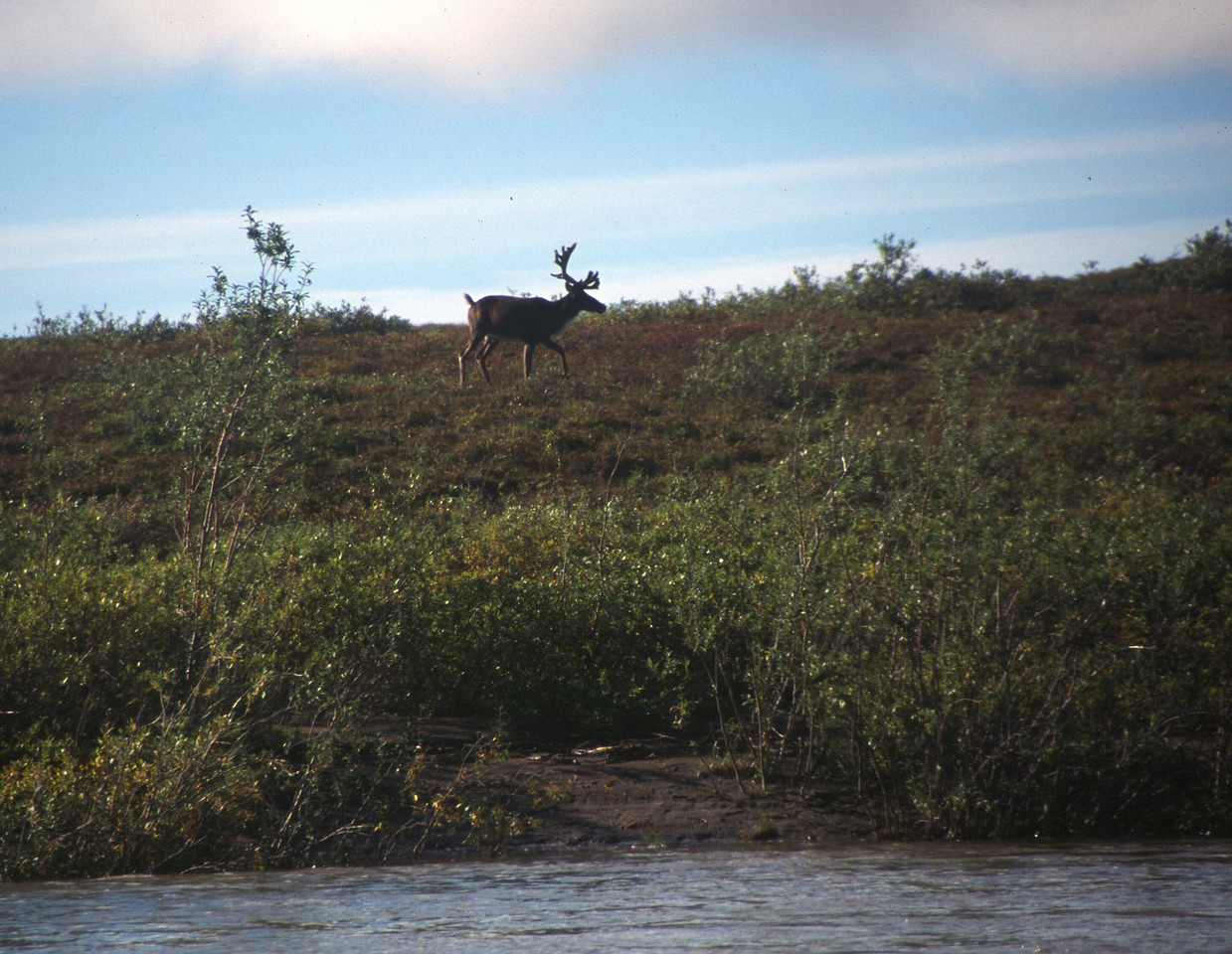The sun finally returns and caribou are easier to photograph