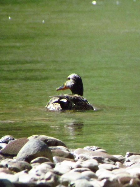 Chased this duck all day.  Many large birds along the river, even great blue herons.