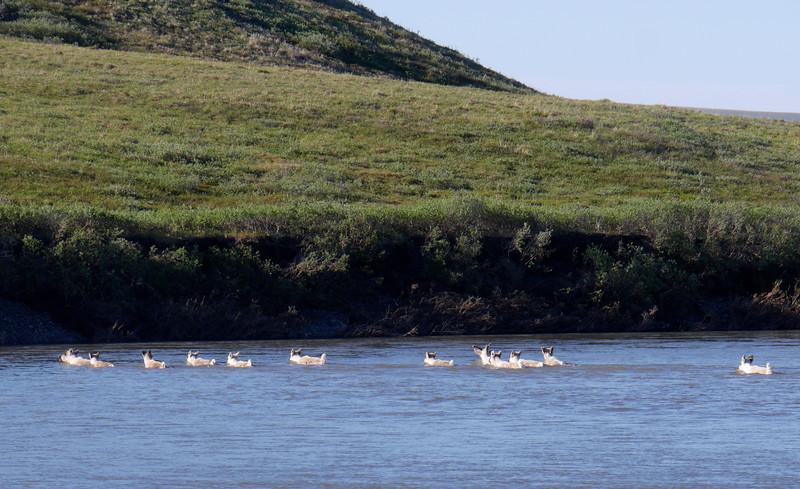 Camp 7 - Utukok  - Caribou Crossing Camp - the caribou of Caribou Crossing Camp.