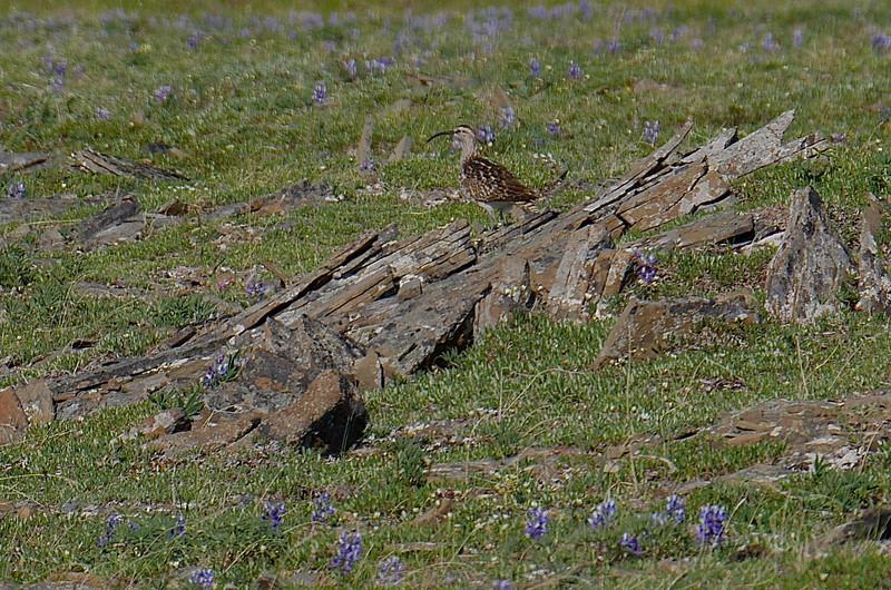 Bristle-thighed Kerlew on Archimedes Ridge
