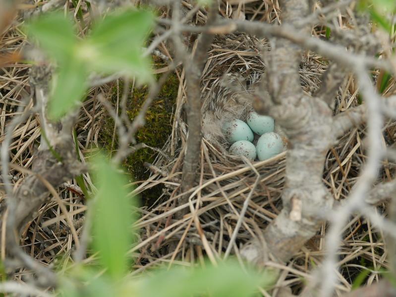 Savannah Sparrow eggs in nest