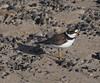 Utukok 7 - Caribou Crossing Camp -Semipalmated Plover in morning