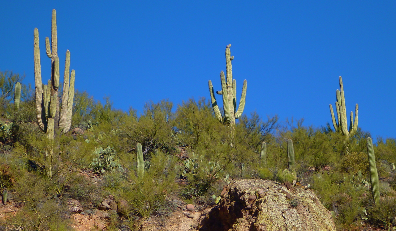 Great cactus are visible all along the river.