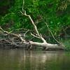 Merganser Ducks taking a break on the River Severn