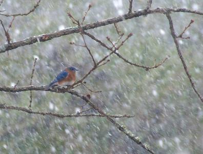 pissed off Bluebird