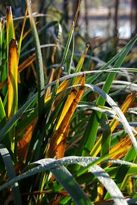 frosty grass