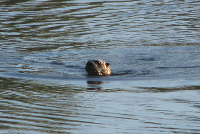 Otters fishing and eating near our campsite