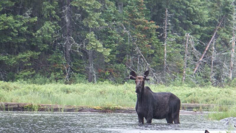 Bull moose in the rain