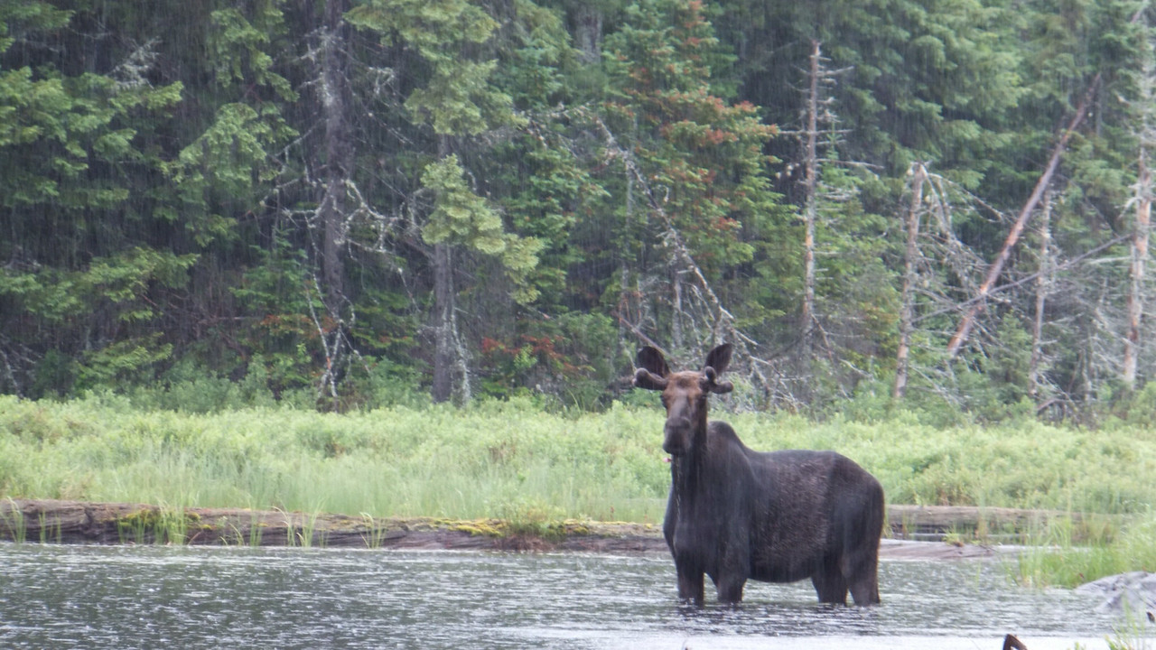 Bull moose in the rain