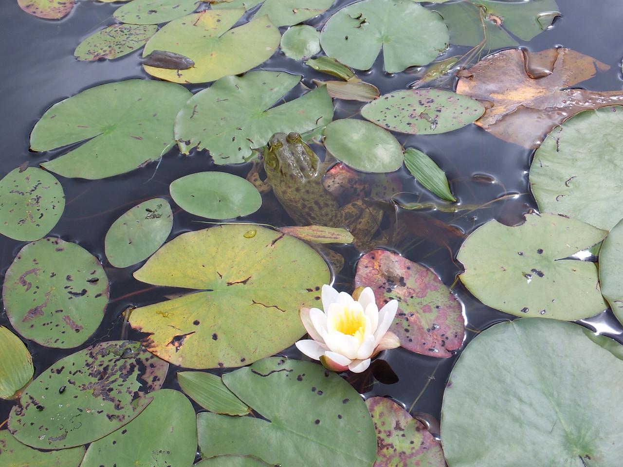 Frog and Lily, Tom Thomson Lake