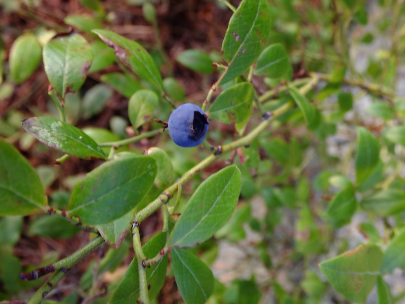 It's mid-September.  That's gotta be the last blueberry in the park.