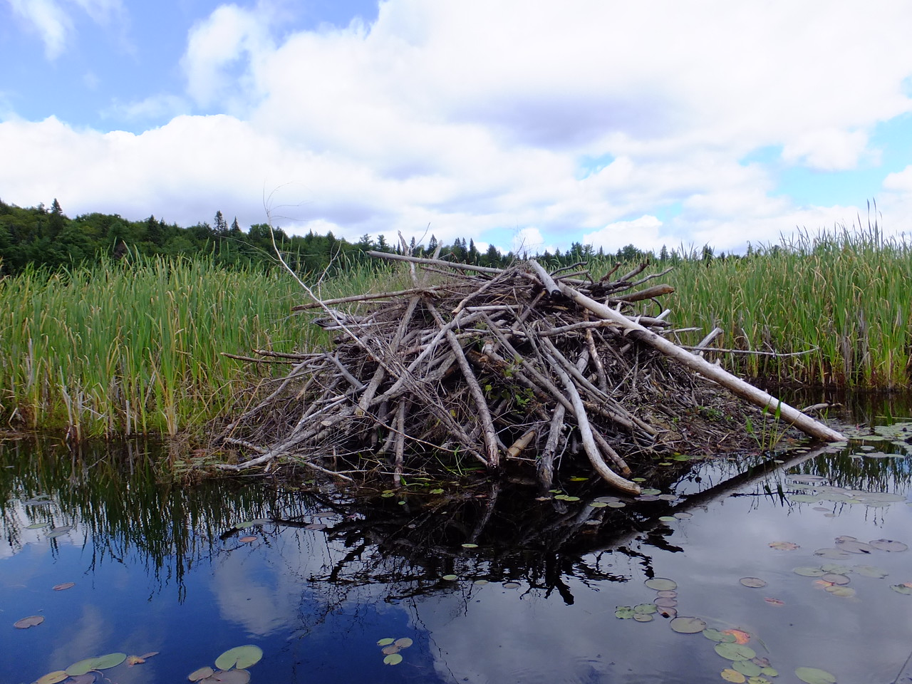 If you see this beaver lodge, you're lost.  Turn around, and follow the underwater grass bending in the direction of the flow.