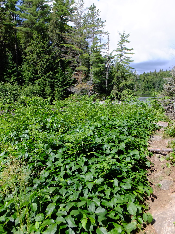 Big patch of Poison Ivy on this portage