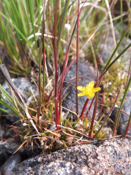 Yellow Stargrass?