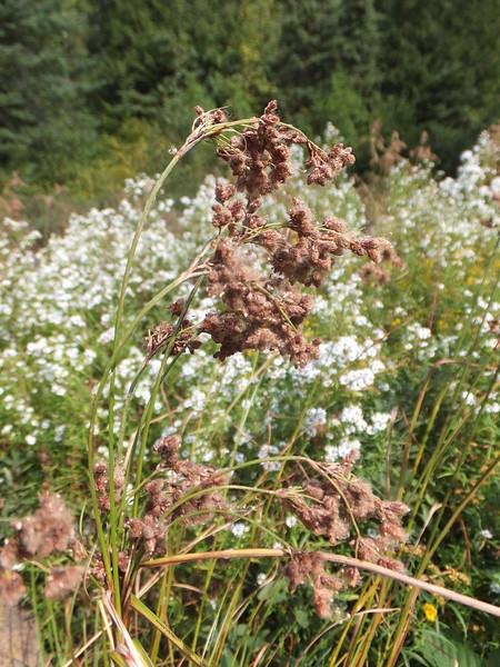 Wool-grass bulrush