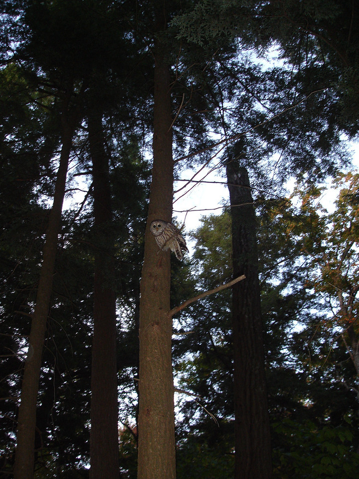 Had a visitor, a barred owl.  Later I heard an animal scream--maybe a dying hare.
