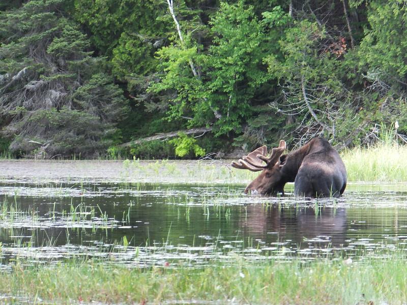 McIntosh Creek Moose