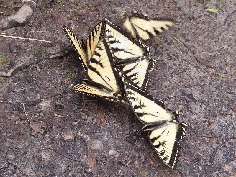 Canadian Tiger Swallowtail butterflies