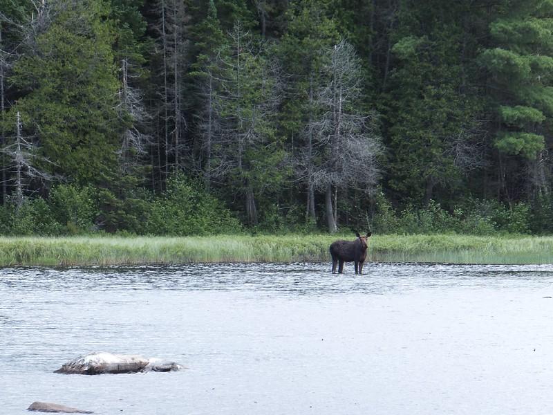 Cow moose on Otterslide Creek