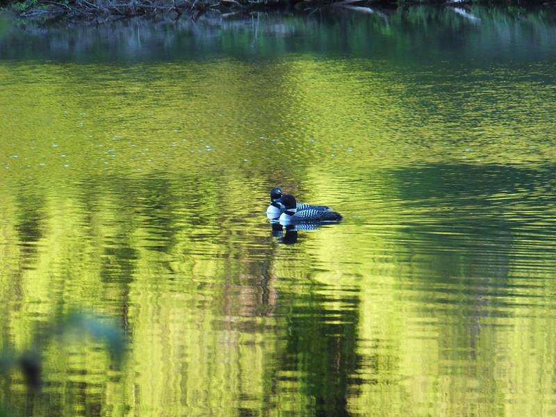 Morning Loons on Otterslide Lake