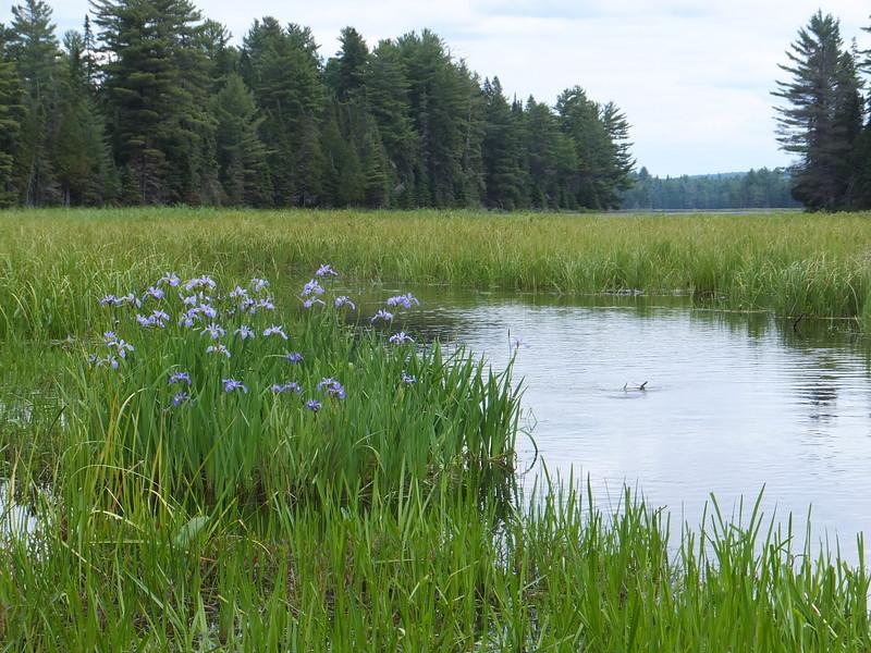 Irises in Mcintosh Creek