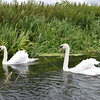 Swans at River Nene in Northamptonshire, England