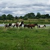 Horses at River Nene in Northamptonshire, England