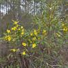 Yellow jasmine blooming nicely.