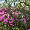 Lovely azaleas in bloom.
