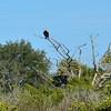 A watchful osprey.