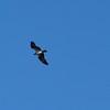 An Osprey overhead.